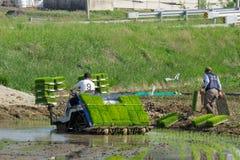 Корейский фермер едет тип управляемый силой transplanter катания риса к саженцу зеленый молодой рис на поле рисовых полей стоковое фото