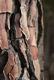 Коренастая текстура расшивы сосны Стоковые Изображения