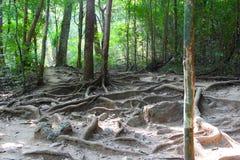 Корень дерева в древесине Стоковое Фото