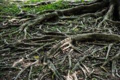 Корень дерева горизонтальный Стоковые Фотографии RF