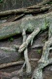 Корень дерева и предпосылка мха в древесине старо конец вверх стоковое изображение