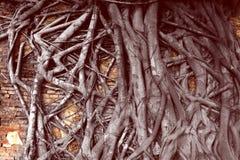Корень дерева на красной кирпичной стене Стоковая Фотография