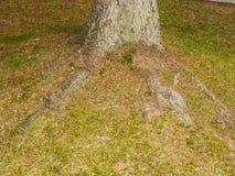 Корень дерева на саде Стоковое фото RF