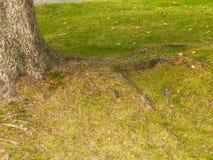 Корень дерева на саде Стоковые Изображения RF