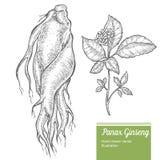 Корень женьшени, лист, ягода, цветок на белой предпосылке Трава органической природы китайская и корейская Нарисованное рукой ill Стоковая Фотография