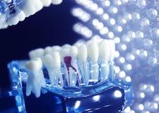 Корень зубоврачебных зубов модельный Стоковое Изображение RF