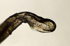 корень микроскопа волос 100x людской Стоковые Изображения