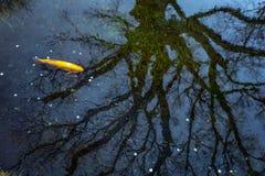 Корень монетки и дерева в озере Стоковое фото RF