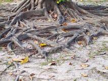 Корень на сухой земле Стоковая Фотография
