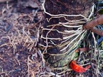 Корень орхидеи прикрепленный на стволе дерева Стоковые Фотографии RF