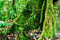 Корень подстенка старого дерева тропического леса Стоковое Изображение