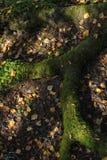 Корень старого дерева Стоковые Изображения RF