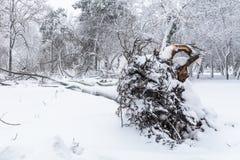 Корень упаденного дерева в парке в зиме Сломал вниз с дерева Стоковое Изображение RF