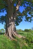 корень дуба Стоковые Фотографии RF