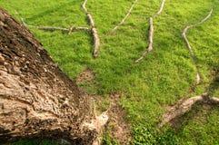 корень Стоковые Фото