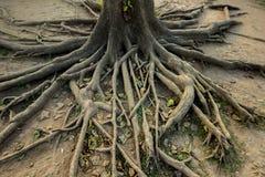 корень Стоковые Изображения