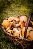 Корзина Брайна вполне грибов леса Стоковая Фотография RF