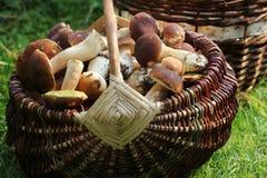 Корзина вполне грибов подосиновика в лесе Стоковое фото RF