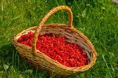 Корзина вполне зрелых ягод одичалой клубники Стоковая Фотография RF