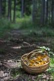 Корзина вполне с грибами леса; Cibarius Cantharellus, подосиновик edulis, и другие съестные одни Лисичка Стоковая Фотография RF