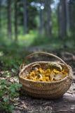 Корзина вполне с грибами леса; Cibarius Cantharellus, подосиновик edulis, и другие съестные одни Лисичка Стоковые Фотографии RF