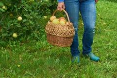 Корзина вполне яблок в женской руке Стоковая Фотография
