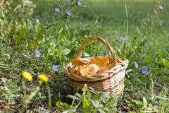 Корзина грибов лисички в луге Стоковое Изображение