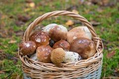 Корзина крупного плана грибов плюшки пенни Стоковые Фотографии RF