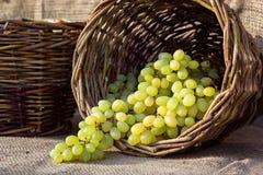 Корзина сбора осени виноградин плетеная с свеже сжатыми белыми виноградинами на предпосылке мешковины Стоковое Изображение RF