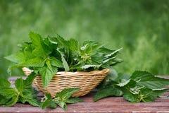 Корзина свежих листьев стрекательной крапивы Стоковые Изображения