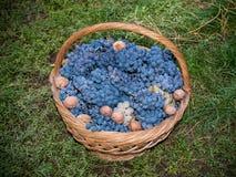 Корзина соломы с виноградинами стоковое изображение