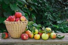 Корзина с кучей сбора яблока в саде падения Стоковая Фотография RF