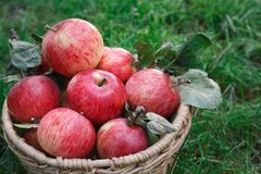 Корзина с сбором яблок на траве Стоковая Фотография