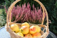 Корзина с сладостными шведскими яблоками ароматности - заводами вереска в предпосылке Стоковая Фотография