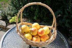 Корзина с сладостными шведскими яблоками ароматности на таблице в саде Стоковые Изображения RF