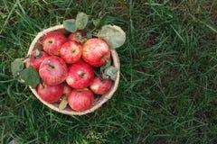 Корзина с яблоками жмет на траве, взгляд сверху Стоковые Фото