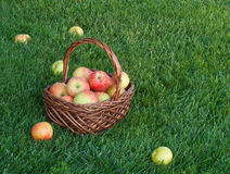 Корзина с яблоками на зеленой траве Стоковые Фото