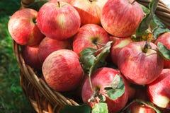 Корзина с яблоками, предпосылка сбора осени Стоковая Фотография