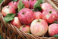 Корзина с яблоками, предпосылка сбора осени Стоковые Изображения RF