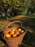 Корзина с яблоками Стоковое Фото