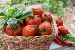 Корзина томатов в огороде Стоковые Фотографии RF