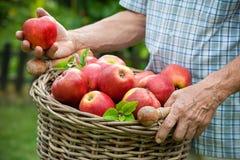 корзина яблок зрелая Стоковая Фотография