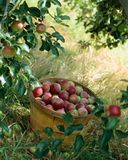 корзина яблок иллюстрация штока