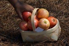 Корзина яблок выбора свежей руки красных Стоковое Изображение