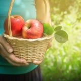 Корзина яблок в женских руках, селективный фокус Стоковое Изображение RF