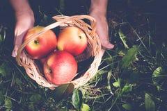 Корзина яблок в женских руках тонизировано Стоковое Фото