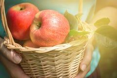 Корзина яблок в женщине вручает крупный план, селективный фокус Стоковое Изображение