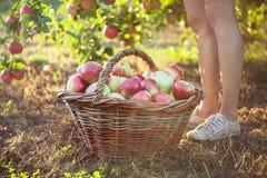 корзина яблок органическая Стоковое Изображение RF