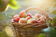 корзина яблок органическая Стоковая Фотография