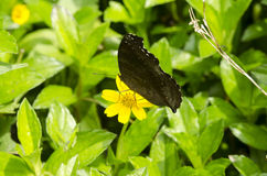 Коричневатая бабочка Стоковое Изображение RF